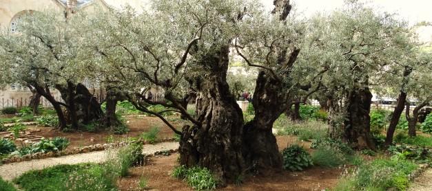Moje podróże: Izrael cz.3: Ogród Getsamani